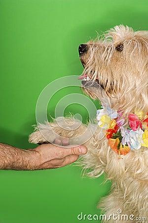 Dog wearing lei shaking hands