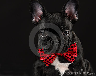 Dog wearing red bowtie