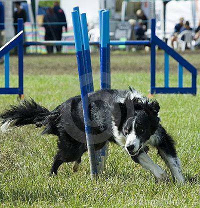 Dog weaving through obstacle