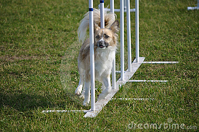 Dog weaving through weave poles at agility trial