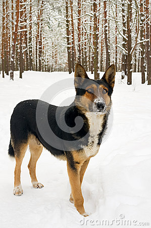 Dog on winter forest