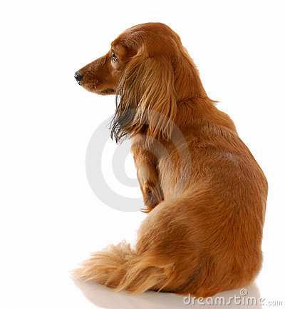 Free Dog With Back To Viewer Royalty Free Stock Photo - 13342145