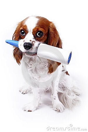 Free Dog With Cleaning Roll Tape Against Hairy Furry Cloth. Dog With Lint Roller Cleaning Tool Can Illustrate Hair Loss Dog Stock Photography - 102729172