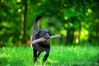 Dog with wood stick