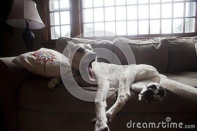 Dog Yawns on Sofa