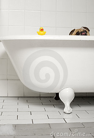 Free Doggy Bath Time Stock Photography - 13250462