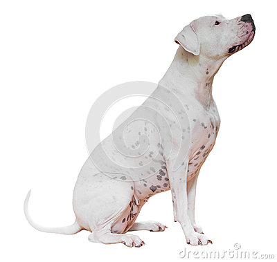 Free Dogo Argentino Royalty Free Stock Photo - 57483005