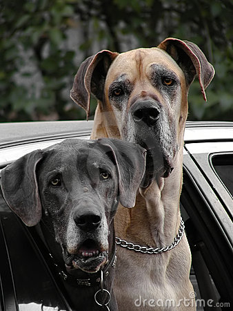 Free Dogs At The Window Stock Image - 131111