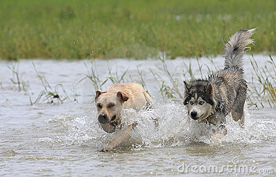 Dogs chasing