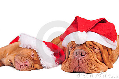 Dogs with Christmas Hats