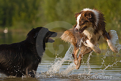 Dogs are jumping in water