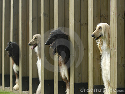 Dogs  pets  Afghan Hound
