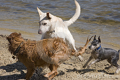 Dogs Play on the Beach