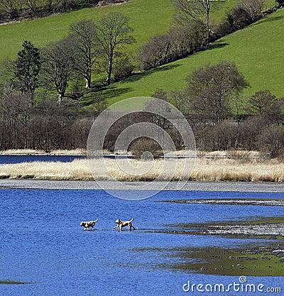 Dogs Playing - Bala Lake - Gwynedd - Wales