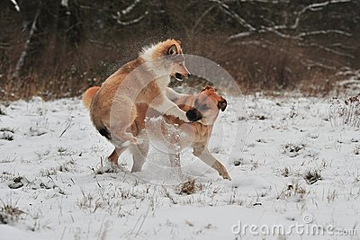 Dogs playing in snow