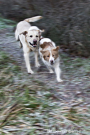 Dogs run and play.