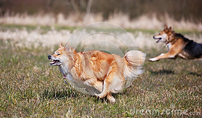 Dogs running on full speed