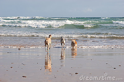 Dogs running into ocean