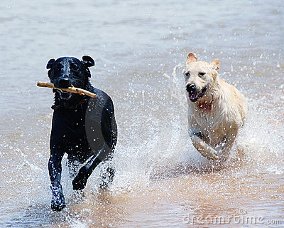 Dogs running through water