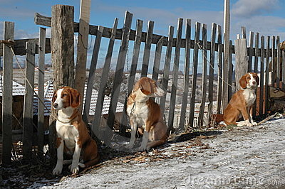 Dogs tied to fence