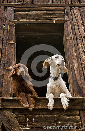 Dogs at the window