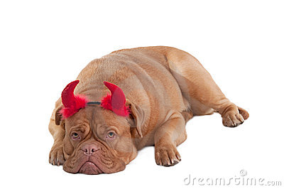 Dogue de bordeaux lying with horns isolated
