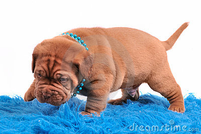 Dogue De Bordeaux pupp is only learning to walk