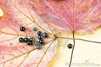 Dogwood Cornus Sanguinea