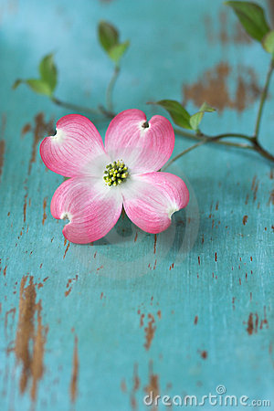 Free Dogwood Flower On Table Stock Photos - 2200153