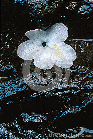 Dogwood flower on wet rock