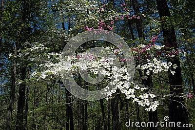Dogwood  &  Redbud flowers