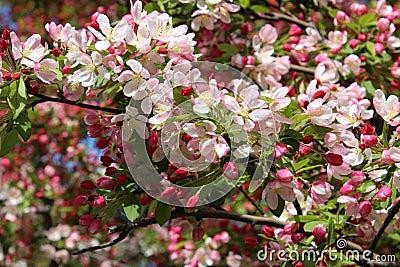 Dogwood Tree in Bloom Stock Photo