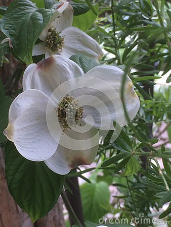 Dogwoods in the spring