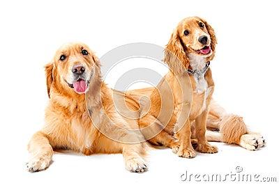 Dois cães