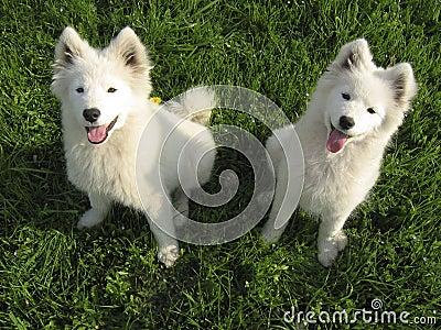 Dois filhotes de cachorro do Samoyed