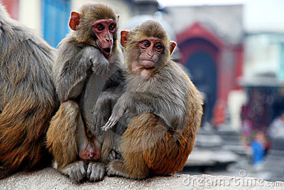 Dois macacos