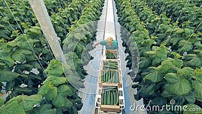 Dojrzali ogórki one zbierają szklarnianym pracownikiem Zdrowy eco produktów pojęcie zdjęcie wideo