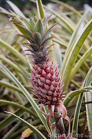 Sole Pineapple on the stalk