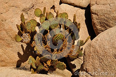 Dollarjoint pricklypear cactus surrounded by rocks