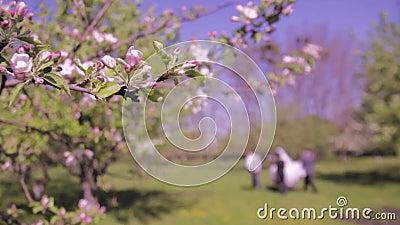 Dolly schot van appelboom het tot bloei komen stock video