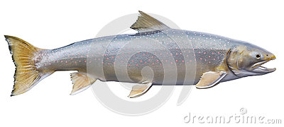 Dolly Varden trout isolated on white background