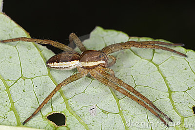 Dolomedes spider sitting on leaf.