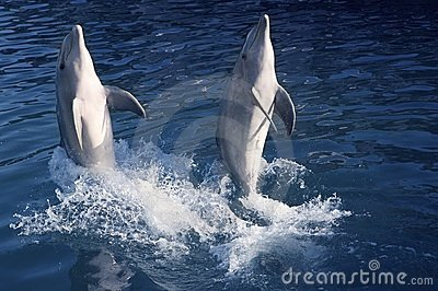 Dolphin acrobacy during dolphins show in Caribbean