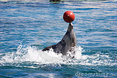 Dolphin balancing ball on nose going backwards