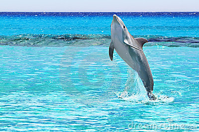 Dolphin in the Caribbean Sea