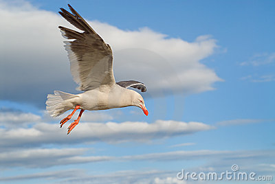 Dolphin Gull flying