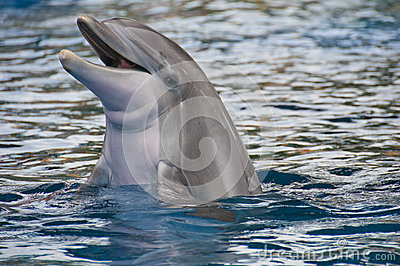 Dolphin with head above water