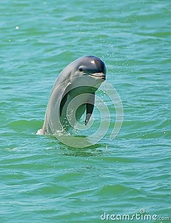Dolphin Jumping, Florida
