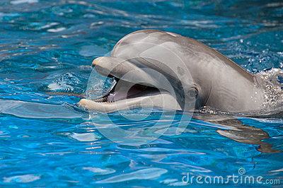 Dolphin with open mouth