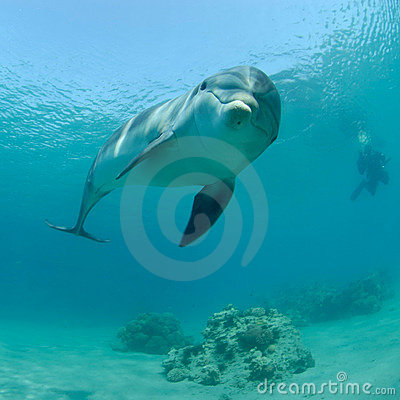 Dolphin in red sea